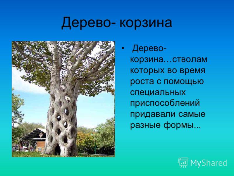 Дерево- корзина Дерево- корзина…стволам которых во время роста с помощью специальных приспособлений придавали самые разные формы...