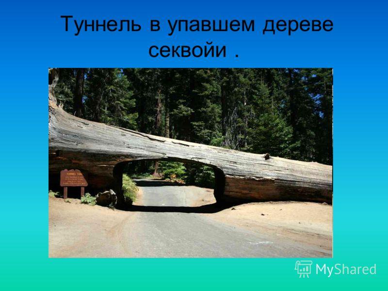 Туннель в упавшем дереве секвойи.
