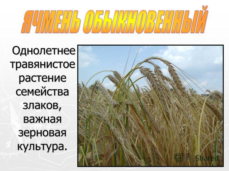 Однолетнее травянистое растение семейства злаков, важная зерновая культура.