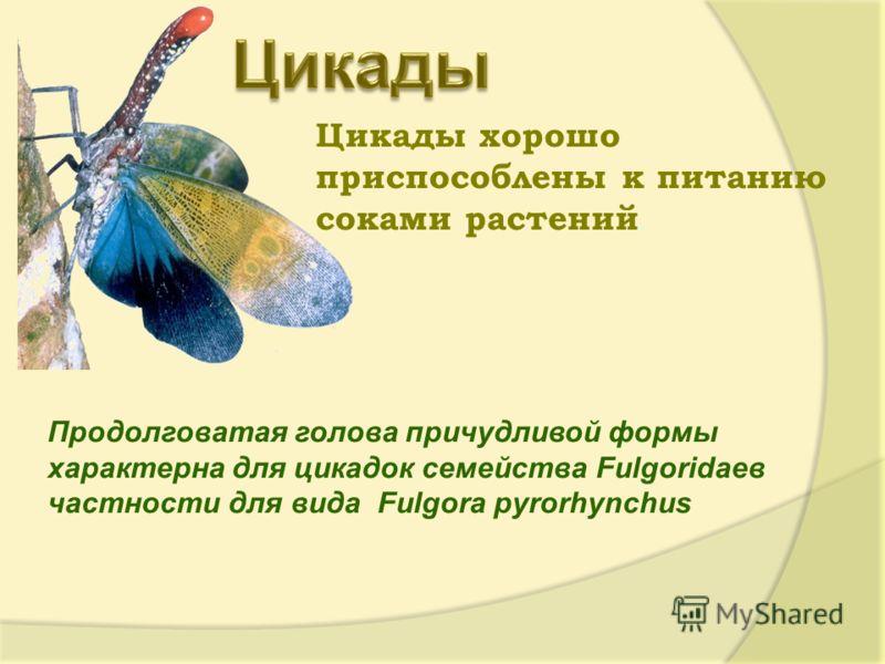 Цикады хорошо приспособлены к питанию соками растений. Продолговатая голова причудливой формы характерна для цикадок семейства Fulgoridaeв частности для вида Fulgora pyrorhynchus