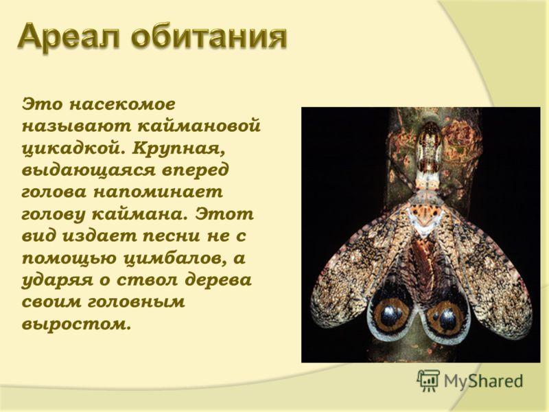Это насекомое называют каймановой цикадкой. Крупная, выдающаяся вперед голова напоминает голову каймана. Этот вид издает песни не с помощью цимбалов, а ударяя о ствол дерева своим головным выростом.