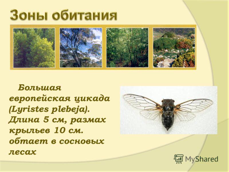Большая европейская цикада (Lyristes plebeja). Длина 5 см, размах крыльев 10 см. обтает в сосновых лесах