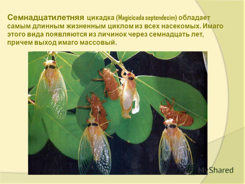 Семнадцатилетняя цикадка ( Magicicada septendecim ) обладает самым длинным жизненным циклом из всех насекомых. Имаго этого вида появляются из личинок через семнадцать лет, причем выход имаго массовый.