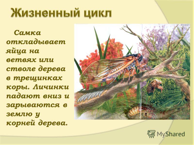 Самка откладывает яйца на ветвях или стволе дерева в трещинках коры. Личинки падают вниз и зарываются в землю у корней дерева.