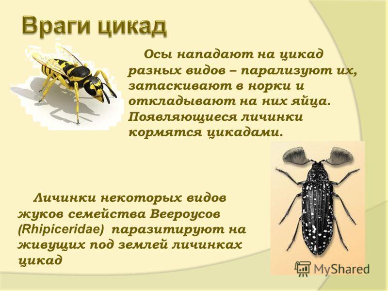Осы нападают на цикад разных видов – парализуют их, затаскивают в норки и откладывают на них яйца. Появляющиеся личинки кормятся цикадами. Личинки некоторых видов жуков семейства Веероусов ( Rhipiceridae ) паразитируют на живущих под землей личинках