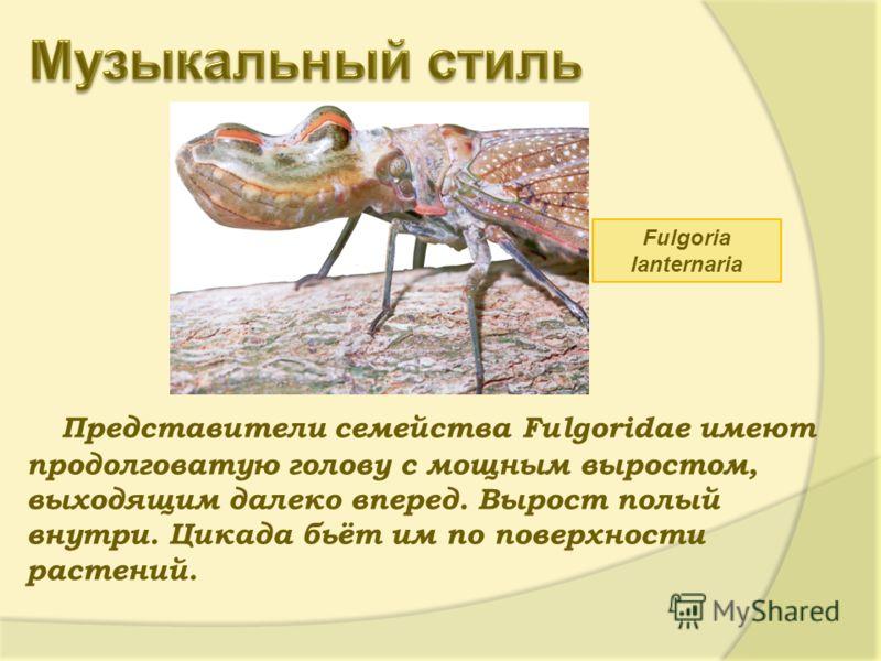 Представители семейства Fulgoridae имеют продолговатую голову с мощным выростом, выходящим далеко вперед. Вырост полый внутри. Цикада бьёт им по поверхности растений. Fulgoria lanternaria