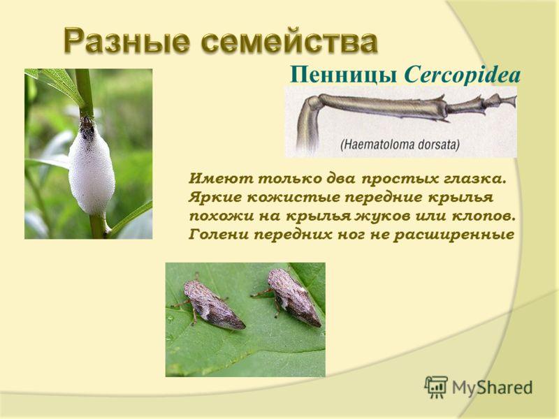 Пенницы Cercopidea Имеют только два простых глазка. Яркие кожистые передние крылья похожи на крылья жуков или клопов. Голени передних ног не расширенные