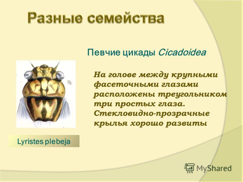 Певчие цикады Cicadoidea На голове между крупными фасеточными глазами расположены треугольником три простых глаза. Стекловидно-прозрачные крылья хорошо развиты. Lyristes plebeja