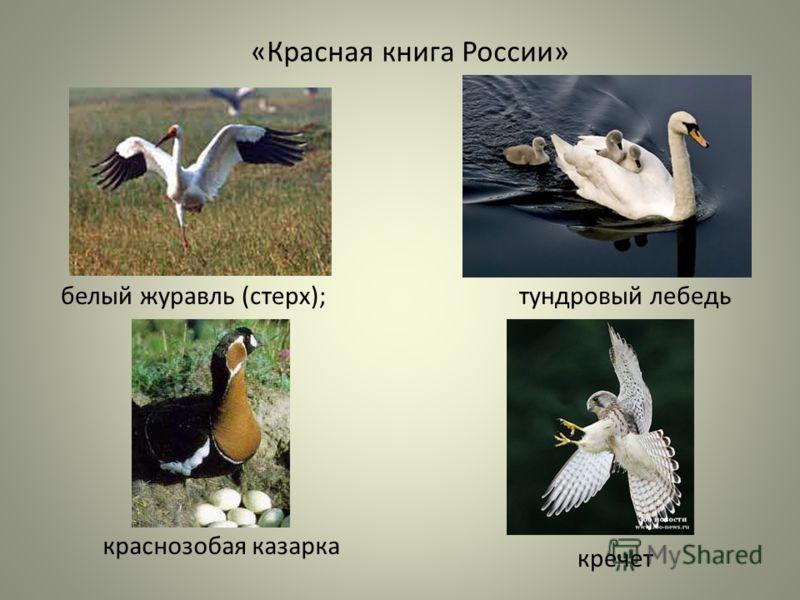 «Красная книга России» белый журавль (стерх);тундровый лебедь краснозобая казарка кречет