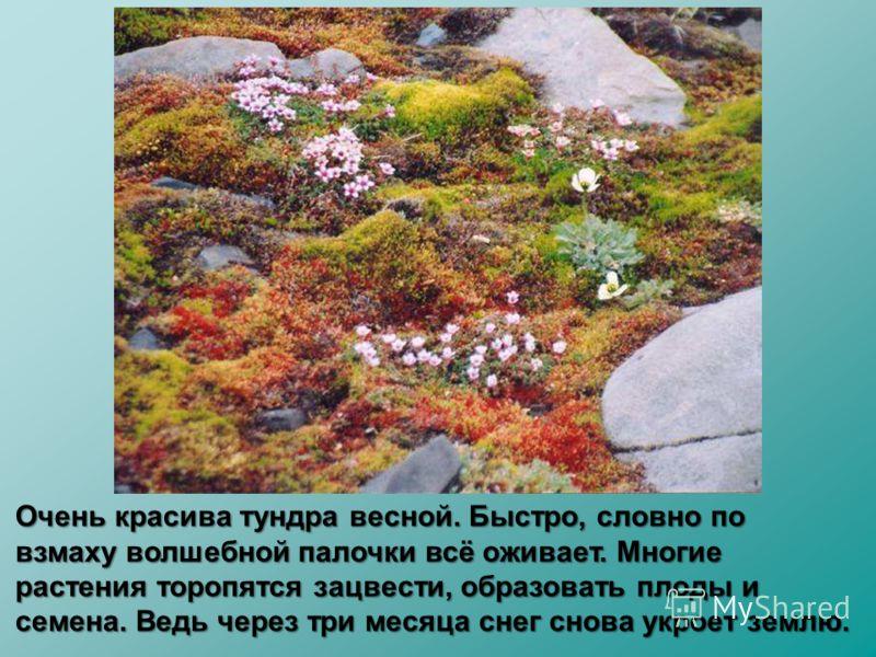 Очень красива тундра весной. Быстро, словно по взмаху волшебной палочки всё оживает. Многие растения торопятся зацвести, образовать плоды и семена. Ведь через три месяца снег снова укроет землю.