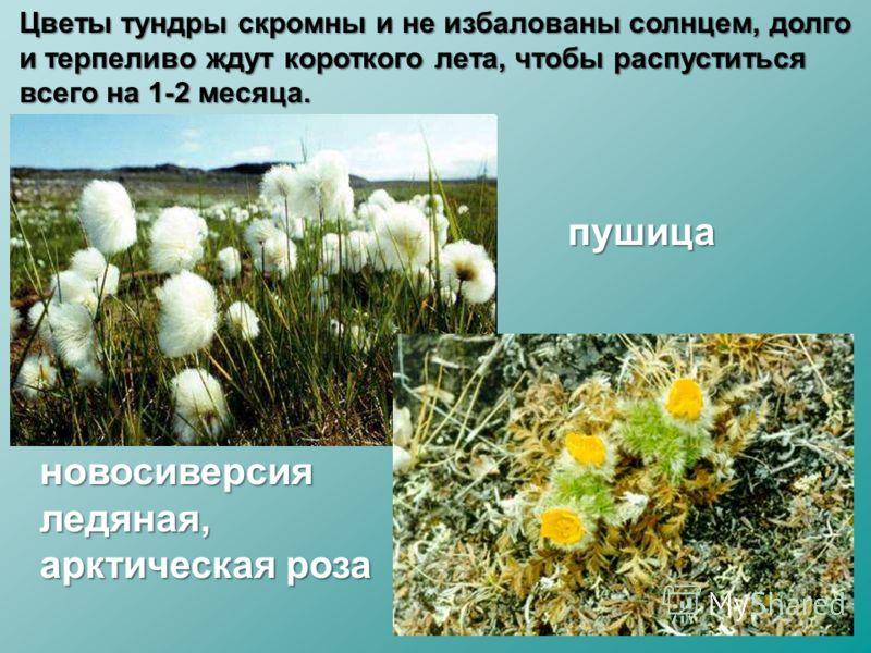 пушица новосиверсия ледяная, арктическая роза Цветы тундры скромны и не избалованы солнцем, долго и терпеливо ждут короткого лета, чтобы распуститься всего на 1-2 месяца.