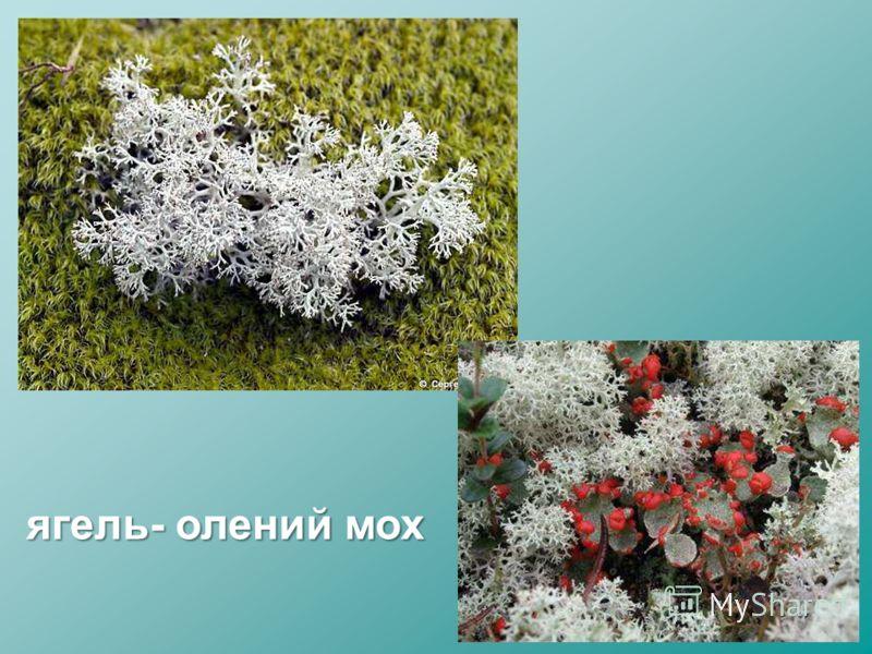 ягель- олений мох
