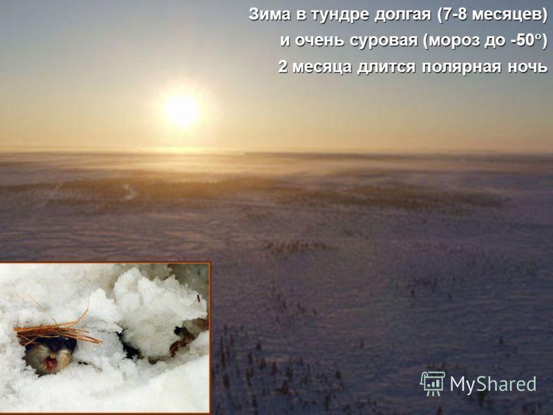 Зима в тундре долгая (7-8 месяцев) и очень суровая (мороз до -50 ) 2 месяца длится полярная ночь
