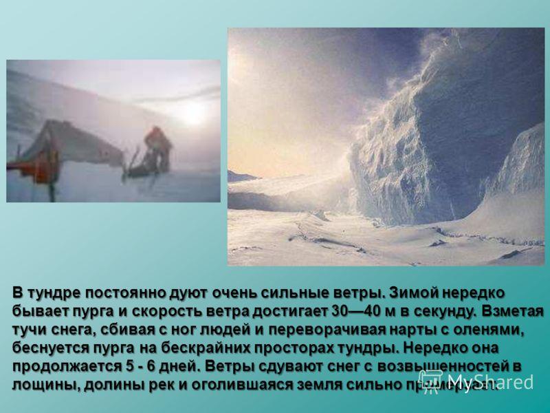 В тундре постоянно дуют очень сильные ветры. Зимой нередко бывает пурга и скорость ветра достигает 3040 м в секунду. Взметая тучи снега, сбивая с ног людей и переворачивая нарты с оленями, беснуется пурга на бескрайних просторах тундры. Нередко она п