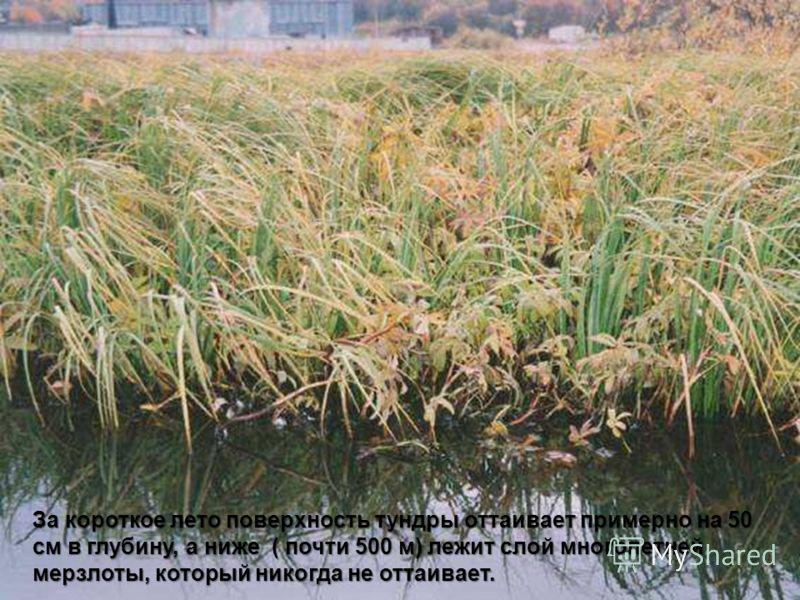За короткое лето поверхность тундры оттаивает примерно на 50 см в глубину, а ниже ( почти 500 м) лежит слой многолетней мерзлоты, который никогда не оттаивает.
