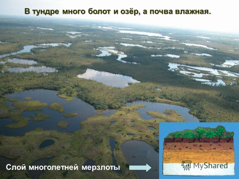 В тундре много болот и озёр, а почва влажная. Слой многолетней мерзлоты