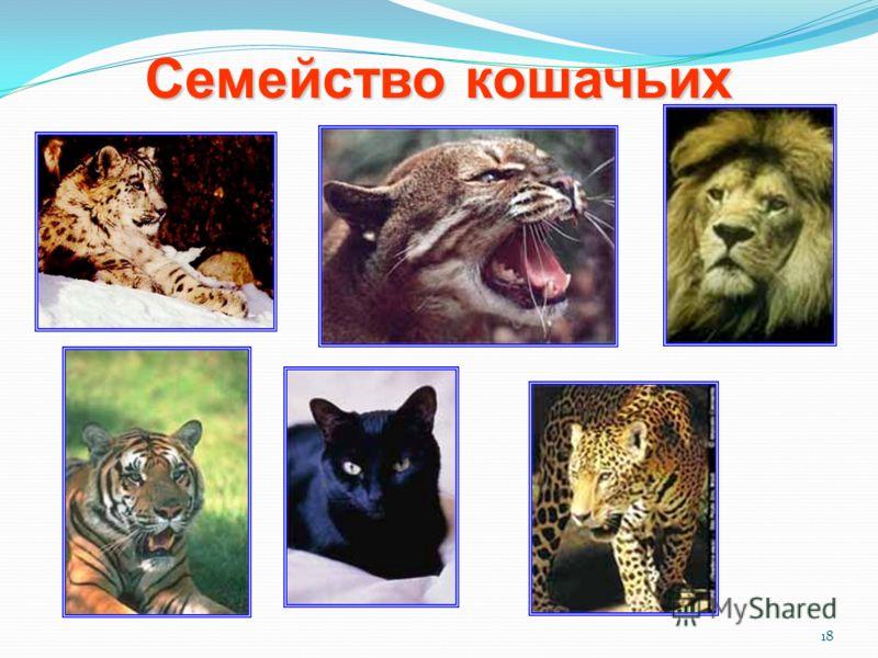 18 Семейство кошачьих