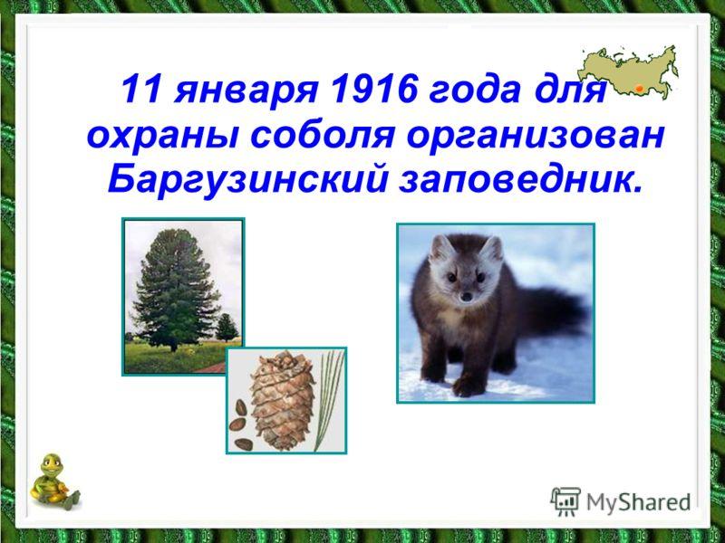 11 января 1916 года для охраны соболя организован Баргузинский заповедник.