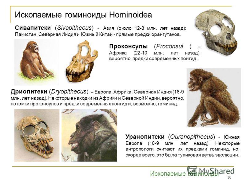 10 Ископаемые гоминоиды Hominoidea Дриопитеки (Dryopithecus) – Европа, Африка, Северная Индия (16-9 млн. лет назад). Некоторые находки из Африки и Северной Индии, вероятно, потомки проконсулов и предки современных понгид и, возможно, гоминид. Сивапит