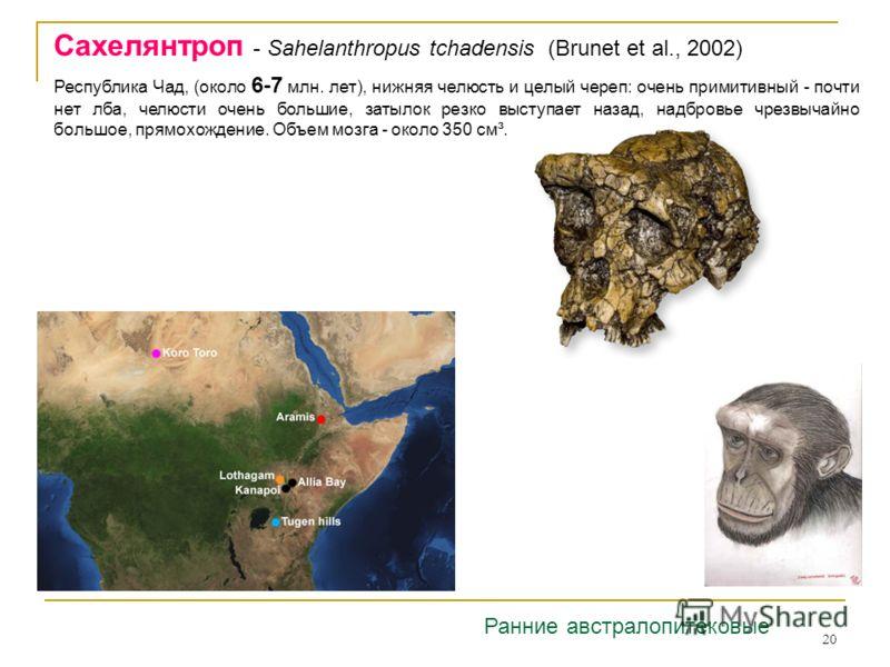 20 Сахелянтроп - Sahelanthropus tchadensis (Brunet et al., 2002) Ранние австралопитековые Республика Чад, (около 6-7 млн. лет), нижняя челюсть и целый череп: очень примитивный - почти нет лба, челюсти очень большие, затылок резко выступает назад, над