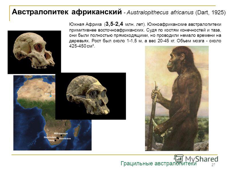 27 Австралопитек африканский - Australopithecus africanus (Dart, 1925) Южная Африка ( 3,5-2,4 млн. лет). Южноафриканские австралопитеки примитивнее восточноафриканских. Судя по костям конечностей и таза, они были полностью прямоходящими, но проводили