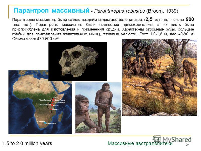 29 Парантроп массивный - Paranthropus robustus (Broom, 1939) 1.5 to 2.0 million years Парантропы массивные были самым поздним видом австралопитеков. ( 2,5 млн. лет - около 900 тыс. лет). Парантропы массивные были полностью прямоходящими, а их кисть б