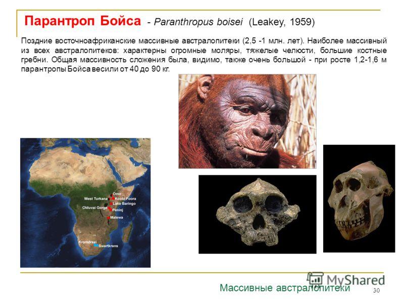 30 Парантроп Бойса - Paranthropus boisei (Leakey, 1959) Поздние восточноафриканские массивные австралопитеки (2,5 -1 млн. лет). Наиболее массивный из всех австралопитеков: характерны огромные моляры, тяжелые челюсти, большие костные гребни. Общая мас