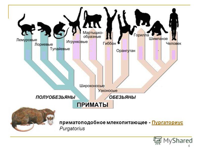 6 приматоподобное млекопитающее - Пургаториус PurgatoriusПургаториус