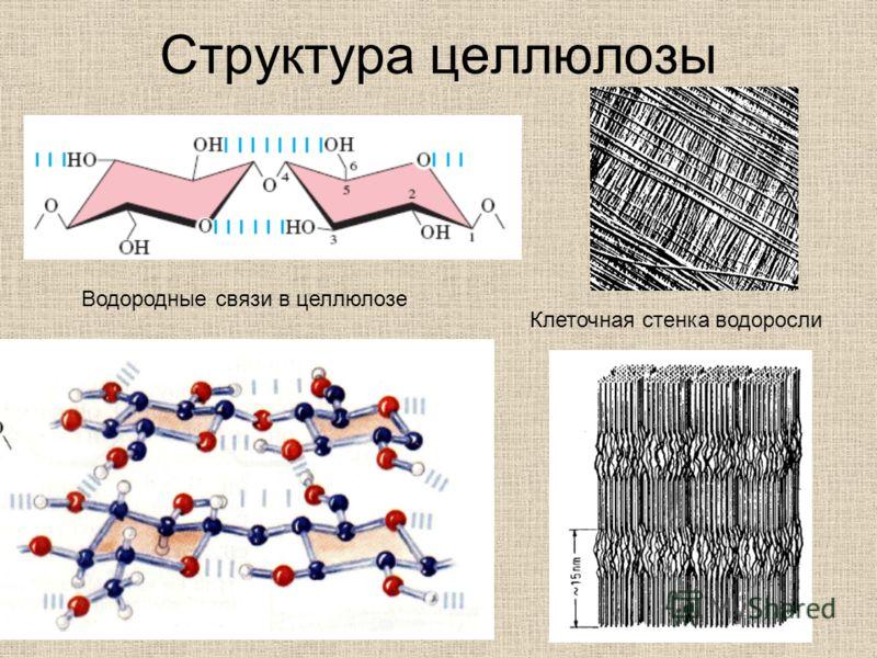 Структура целлюлозы Клеточная стенка водоросли Водородные связи в целлюлозе