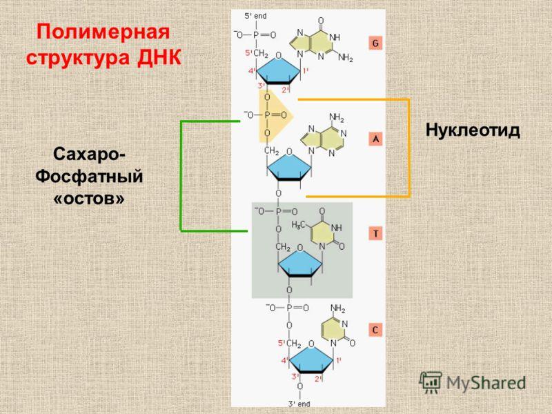 Нуклеотид Сахаро- Фосфатный «остов» Полимерная структура ДНК