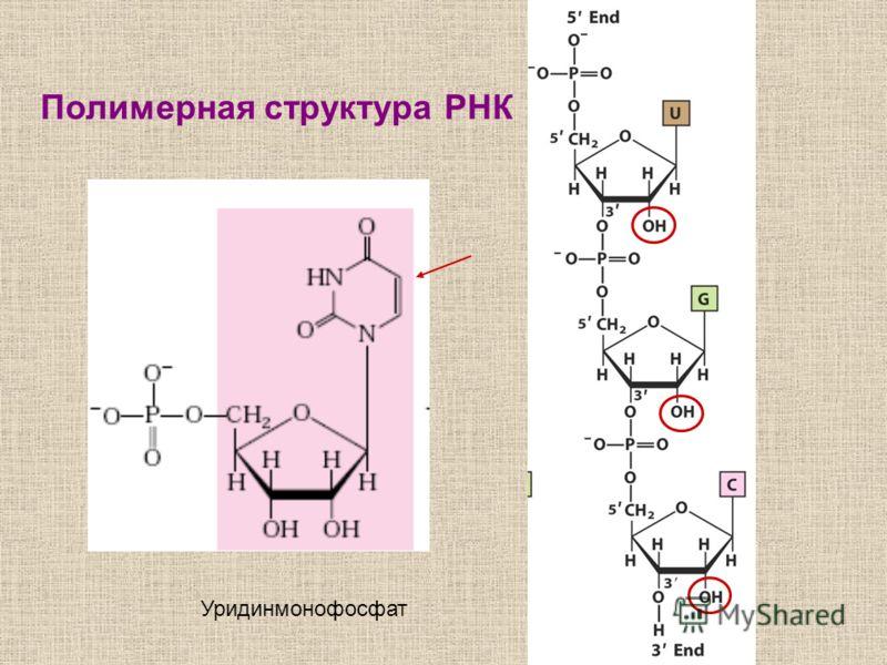 Полимерная структура РНК Уридинмонофосфат