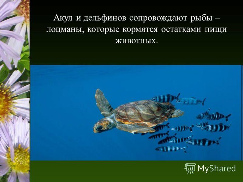 Акул и дельфинов сопровождают рыбы – лоцманы, которые кормятся остатками пищи животных.