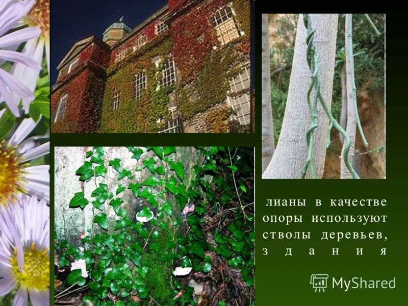 лианы в качестве опоры используют стволы деревьев, здания