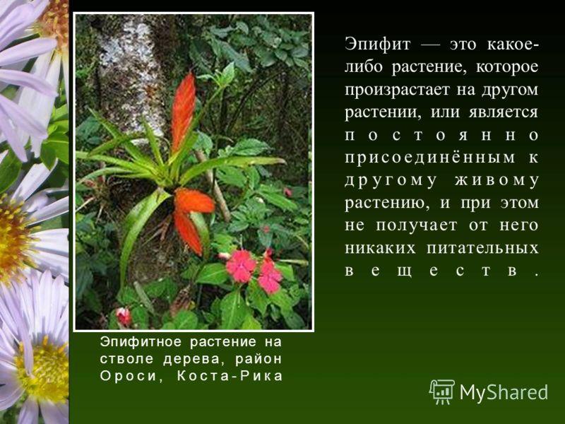 Эпифит это какое- либо растение, которое произрастает на другом растении, или является постоянно присоединённым к другому живому растению, и при этом не получает от него никаких питательных веществ. Эпифитное растение на стволе дерева, район Ороси, К