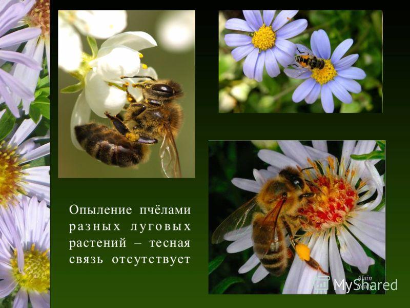 Опыление пчёлами разных луговых растений – тесная связь отсутствует