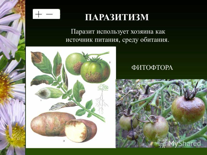 ПАРАЗИТИЗМ Паразит использует хозяина как источник питания, среду обитания. ФИТОФТОРА