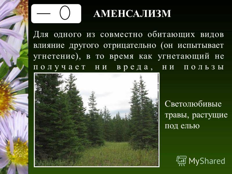 АМЕНСАЛИЗМ Для одного из совместно обитающих видов влияние другого отрицательно (он испытывает угнетение), в то время как угнетающий не получает ни вреда, ни пользы Светолюбивые травы, растущие под елью