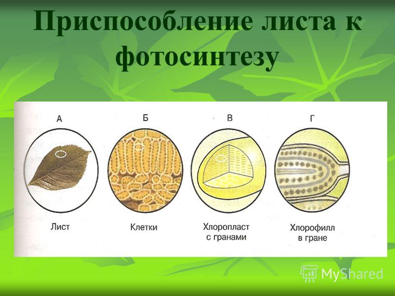 Приспособление листа к фотосинтезу