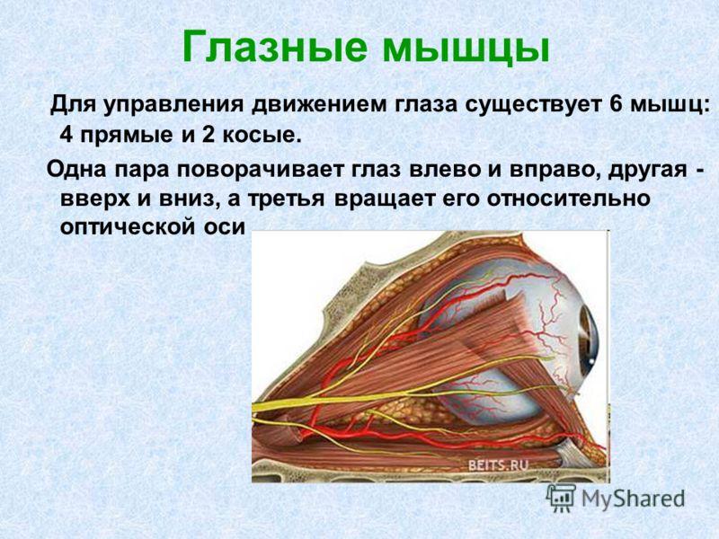 Глазные мышцы Для управления движением глаза существует 6 мышц: 4 прямые и 2 косые. Одна пара поворачивает глаз влево и вправо, другая - вверх и вниз, а третья вращает его относительно оптической оси