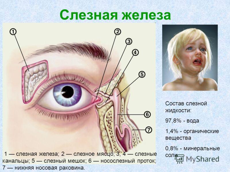 Слезная железа вв 1 слезная железа; 2 слезное мясцо; 3, 4 слезные канальцы; 5 слезный мешок; 6 носослезный проток; 7 нижняя носовая раковина. Состав слезной жидкости: 97,8% - вода 1,4% - органические вещества 0,8% - минеральные соли
