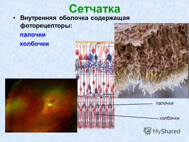 Сетчатка Внутренняя оболочка содержащая фоторецепторы: палочки колбочки палочки колбочки