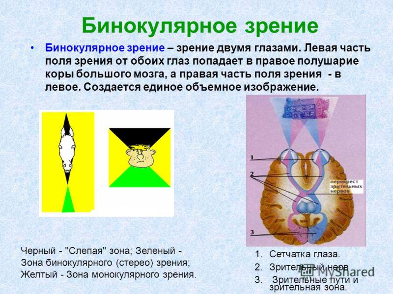 Бинокулярное зрение Бинокулярное зрение – зрение двумя глазами. Левая часть поля зрения от обоих глаз попадает в правое полушарие коры большого мозга, а правая часть поля зрения - в левое. Создается единое объемное изображение. Черный -