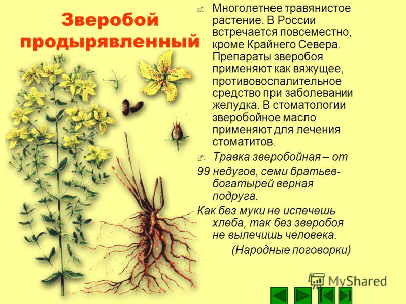 Зверобой продырявленный Многолетнее травянистое растение. В России встречается повсеместно, кроме Крайнего Севера. Препараты зверобоя применяют как вяжущее, противовоспалительное средство при заболевании желудка. В стоматологии зверобойное масло прим