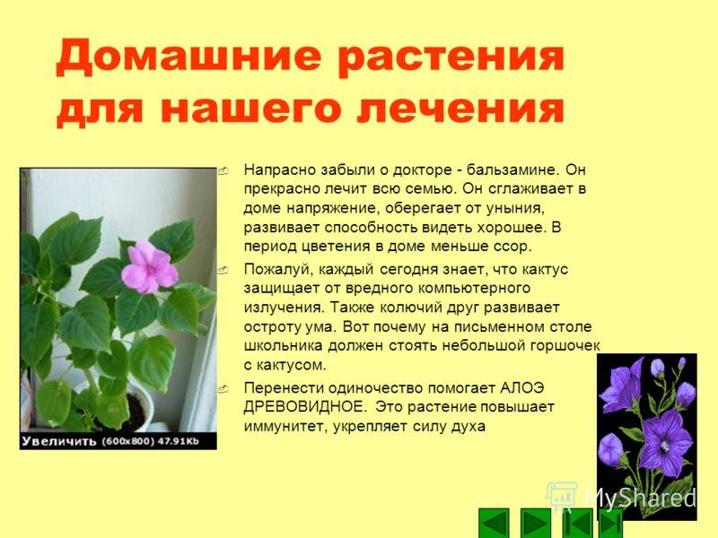 Домашние растения для нашего лечения Напрасно забыли о докторе - бальзамине. Он прекрасно лечит всю семью. Он сглаживает в доме напряжение, оберегает от уныния, развивает способность видеть хорошее. В период цветения в доме меньше ссор. Пожалуй, кажд
