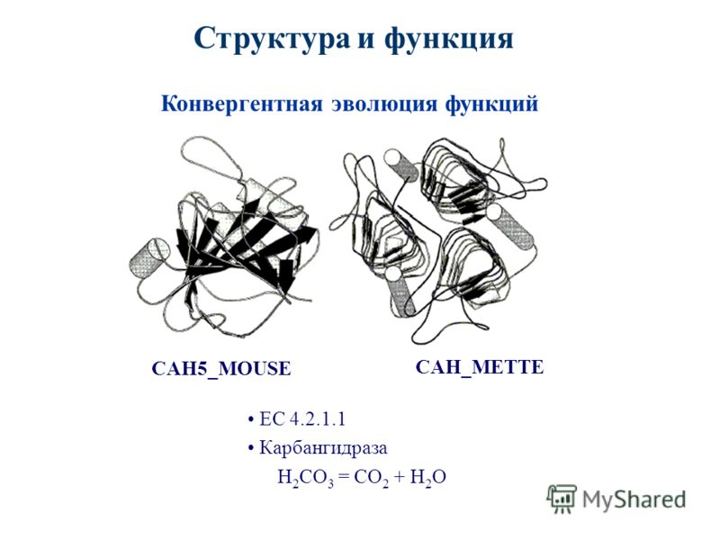 Структура и функция Конвергентная эволюция функций CAH_METTE CAH5_MOUSE ЕС 4.2.1.1 Карбангидраза H 2 CO 3 = CO 2 + H 2 O