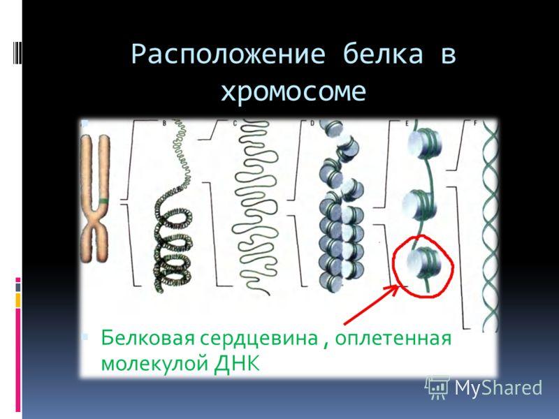 Расположение белка в хромосоме Белковая сердцевина, оплетенная молекулой ДНК