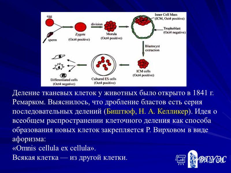 Деление тканевых клеток у животных было открыто в 1841 г. Ремарком. Выяснилось, что дробление бластов есть серия последовательных делений (Биштюф, Н. А. Келликер). Идея о всеобщем распространении клеточного деления как способа образования новых клето