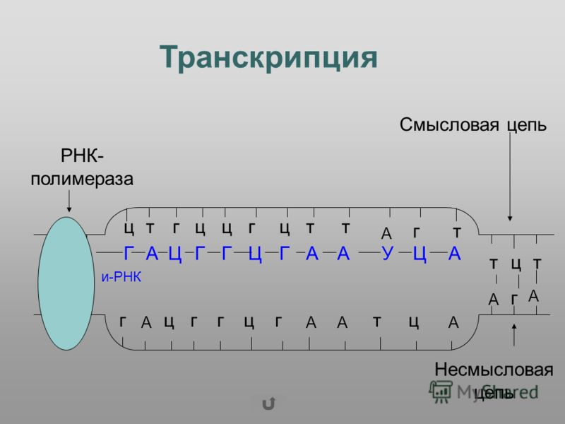 цтгццгцтт А гт г А цггцг АА тц А тцт А г А АГАЦГГЦГААУЦ и-РНК Смысловая цепь Несмысловая цепь РНК- полимераза Транскрипция