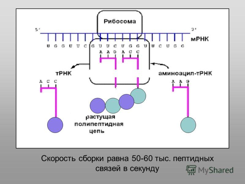 Скорость сборки равна 50-60 тыс. пептидных связей в секунду