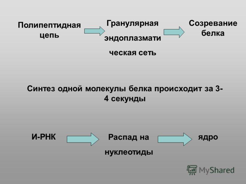 Полипептидная цепь Гранулярная эндоплазмати ческая сеть Созревание белка Синтез одной молекулы белка происходит за 3- 4 секунды И-РНК Распад на нуклеотиды ядро